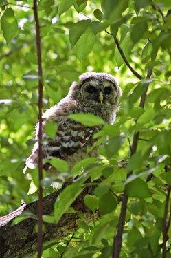 owl1-thumb-250x375